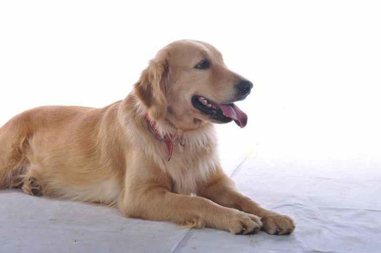 Peneliti di Jepang Bikin Remote untuk Kendalikan Anjing