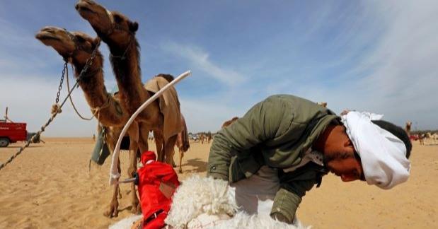 Di Mesir, Robot Gantikan Anak Sebagai Joki Unta
