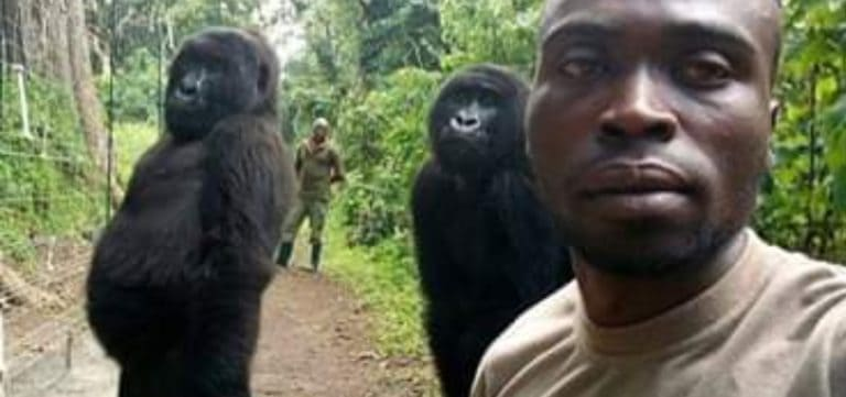 Foto Selfie Dua Gorila Ini Heboh di Medsos