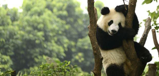 China Kembangkan Aplikasi untuk Kenali Wajah Panda