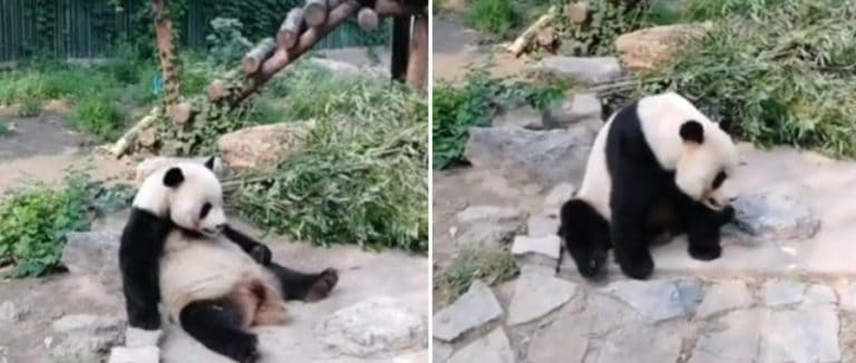 Netizen Marah! Turis Tertangkap Kamera Lempar Batu ke Panda