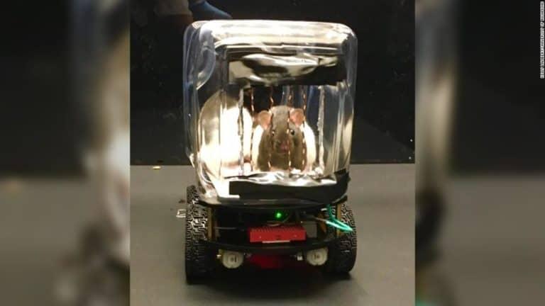 Tikus Ini Kendarai Mobil Mungil untuk Kumpulkan Makanan