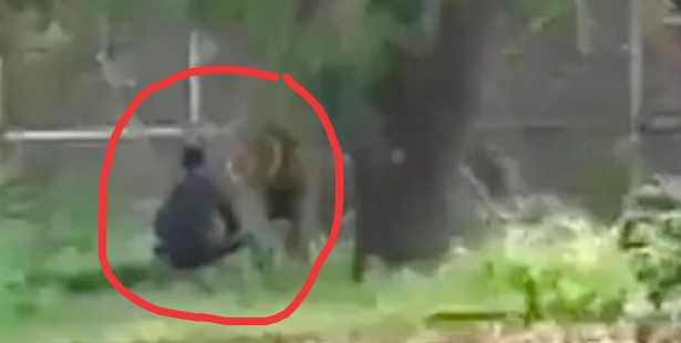 Video Viral! Pria Mabuk Masuk ke Kandang Singa