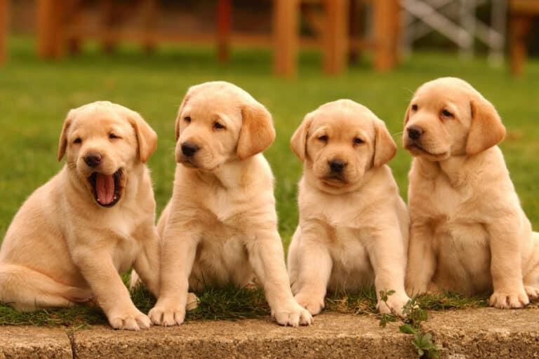Scammers Jual Anak Anjing Langka Selama Pandemi Corona