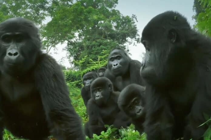 gorila bernyanyi dan kentut