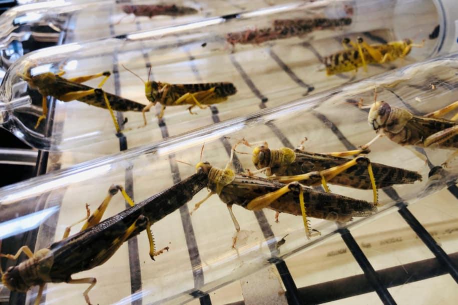 Cara basmi hama belalang