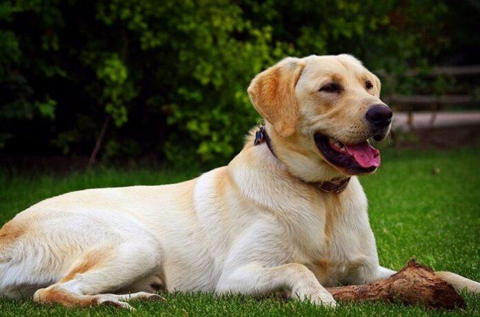 Anjing Pelacak Covid-19