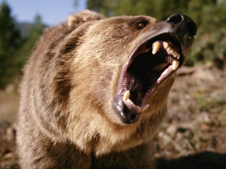 Canggih! Face Recognition Kini Berguna untuk Beruang dan Sapi