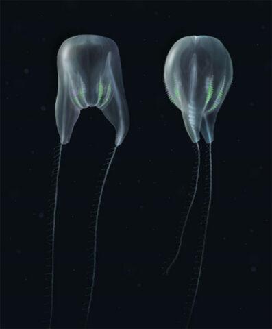 Spesies Baru Ubur-ubur Sisir