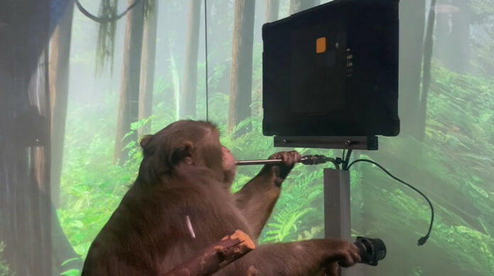 monyet dengan otak chip komputer