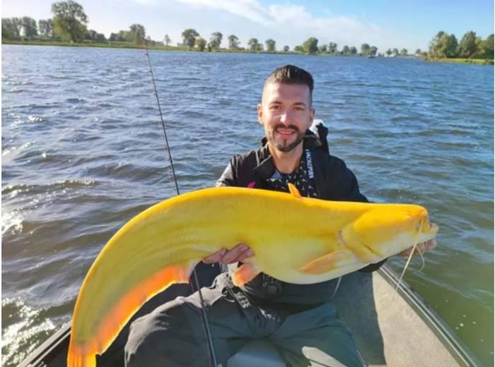 Ikan lele kuning raksasa